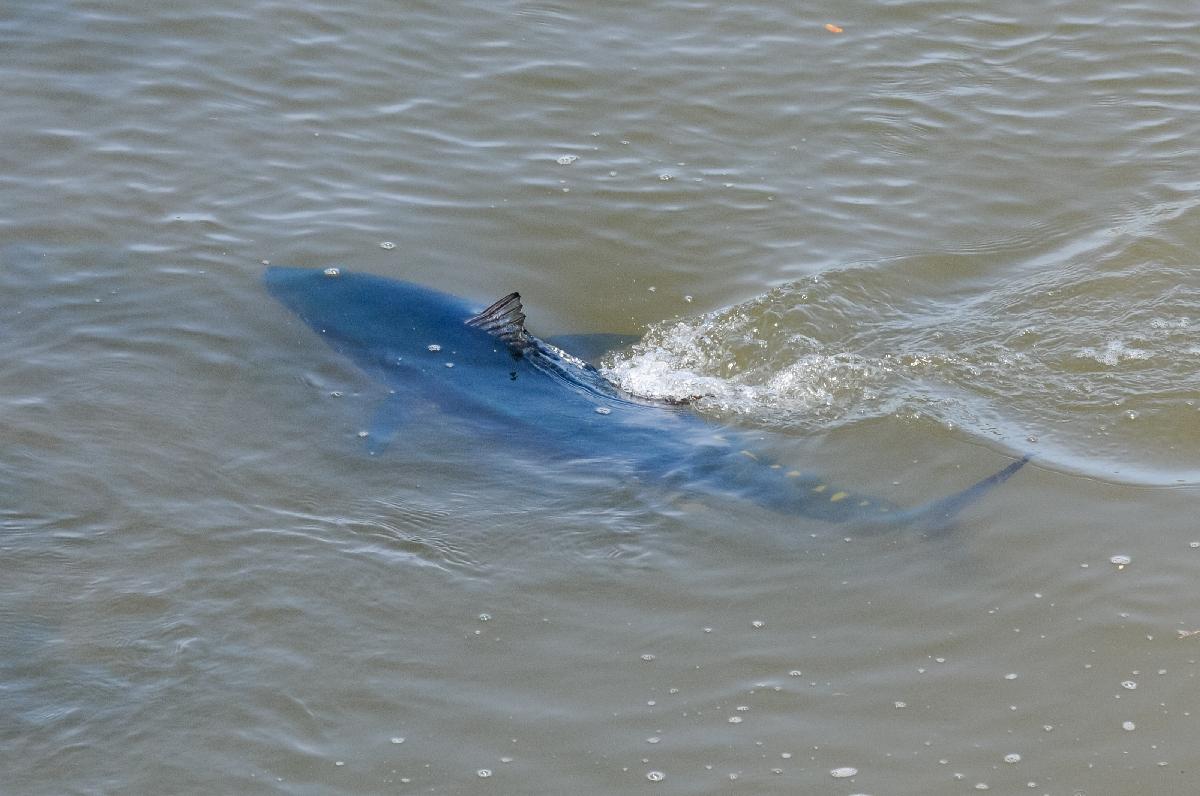 新井田川を泳ぐマグロとみられる魚=4日午前10時ごろ、八戸市田向2丁目