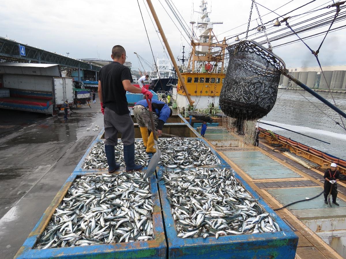 八戸港に水揚げされた道東沖のマイワシ=11日、八戸市第1魚市場