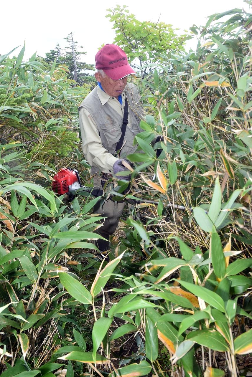 やぶ化が進んだ櫛ケ峰の登山道で刈り払い作業をする参加者=13日、南八甲田登山道