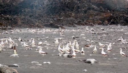 小笠原諸島・西之島のアオツラカツオドリの群れ=4日(川上和人氏撮影、環境省提供)