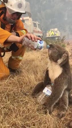 オーストラリア南部で消防士から水を与えられるコアラ=2019年12月22日(OAKBANKBALHANNAH CFS提供、ロイター=共同)
